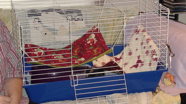 Neutral cage with hammocks for advancing pet rat to rat intros.