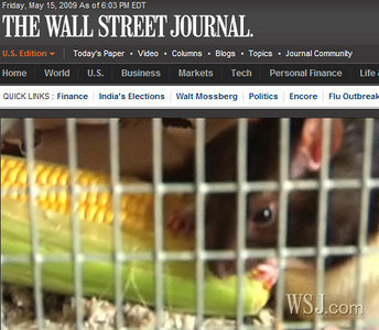 If you are viewing this on the keyword page, click to go to the gallery and view lots of information from the Wall Street Journal, including the link to the WSJ website for the video, the front page newspaper article, a photocopy of the article itself, and snapshots galore. Pet Rats are stars to the entire world. Karen Borga's Number Kids enjoy fame in Amber Alliger's video interview about adopted lab rats.