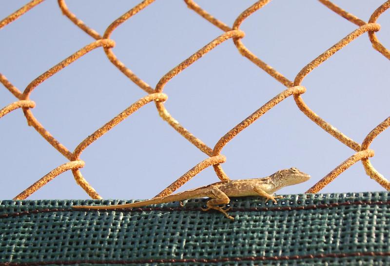 Tennis Lizard