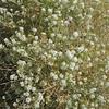 Desert Alyssum. Bush Peppergrass