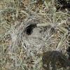 Cactus Wren's Nest in Pencil Cholla