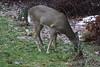 IMG_6946 Deer 12-11-2104