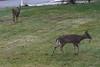 IMG_6944 Deer 12-11-2104