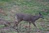 IMG_6943 Deer 12-11-2104