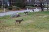 IMG_6940 Deer 12-11-2104
