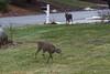 IMG_6936 Deer 12-11-2104