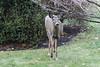 IMG_6950 Deer 12-11-2104