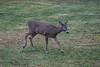 IMG_6937 Deer 12-11-2104