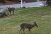 IMG_6942 Deer 12-11-2104