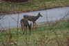 IMG_6932 Deer 12-11-2104