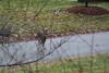 IMG_6929 Deer 12-11-2104