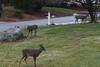 IMG_6941 Deer 12-11-2104