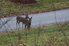 IMG_6931 Deer 12-11-2104