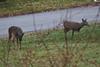 IMG_6933 Deer 12-11-2104
