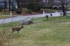 IMG_6939 Deer 12-11-2104