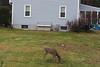 IMG_6938 Deer 12-11-2104