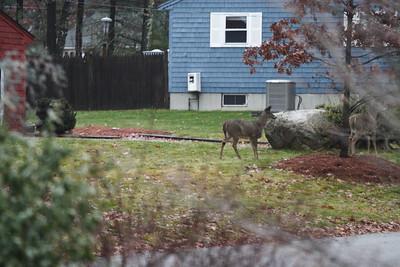 Lovett Lane Deer Herd