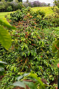Did you know this is what a Coffee Plant looks like, and that it produces so many cherries? Well... now you do.
