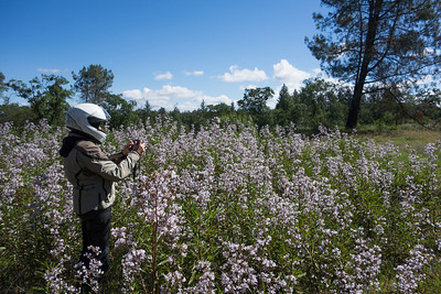 The biggest patch of yerba santa we'd ever seen.