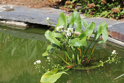 koi pond lily pad