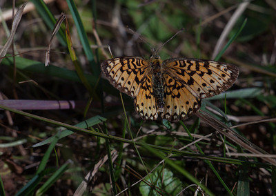 Silver-bordered Fritillary   (Boloria selene)  CV180, F8, 25mm ext, T32 fill