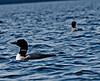 A pair of loons on the lake