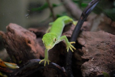New Zealand - Green lizard at Otorohanga Kiwi House - January 2017