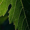 Our grape leaves.