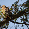 Sunday the 20th, went for a hike with friends along the Sacramento River in Redding.  Saw this red-shouldered hawk.  It had a little bird in its claws.