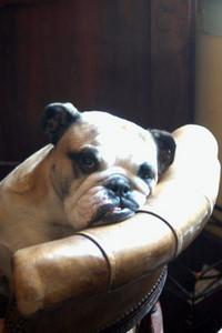 bulldog eyes changed