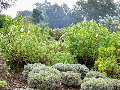 Protea bushes