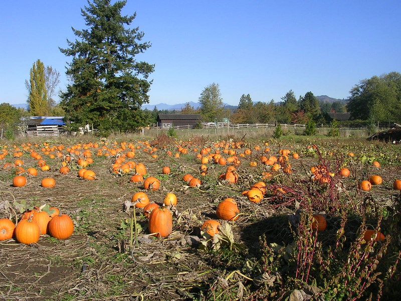 A very sincere pumpkin patch