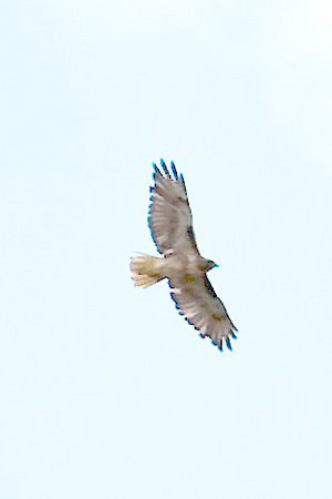 Red Tailed Hawk Above the Hand Cabin
