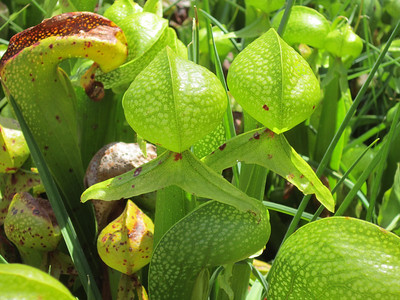 Pitcher plants and their tongues.