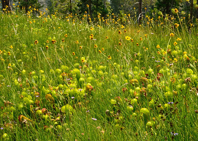 Another of the many patches of Pitcher plants.
