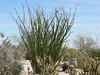 the occotillos were really fleshed out and starting to bloom