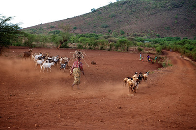 Goat herding. Marangu village, Moshi district, Tanzania.
