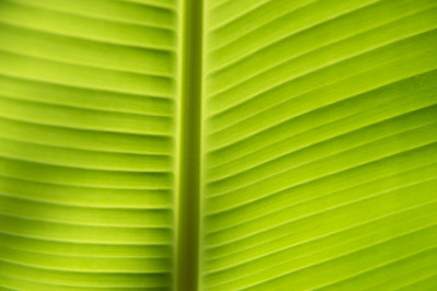 Banana leaf, Tanzania.