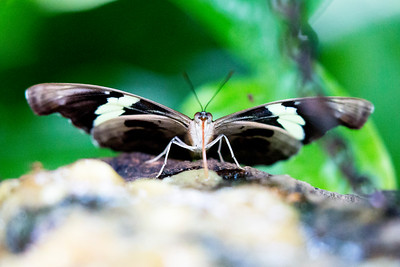 I believe this fellow is a Blue and White Longwing Butterfly.   Another pretty face.