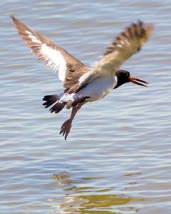 An American Oyster Catcher in flight