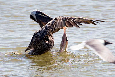 This Brown Pelican claims tasty offal thrown to him by a fisherman.