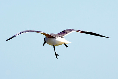 This Laughing Gull is flying without retracting its left leg.   ??