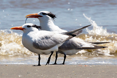 Two Royal Terns enjoy the Gulf spray.