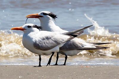 Two Royal Terns enjoy the Gulf spray.