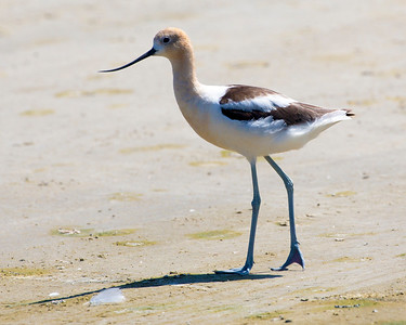 One more look at our Avocet with its turned up nose