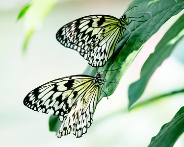 Two Rice Paper Butterflies on a leaf