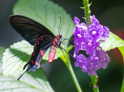 Rose Swallowtail Butterfly on a violet flower