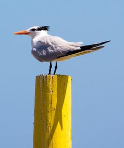 Royal Tern posing on a yellow post
