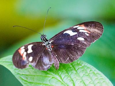 Shoemaker Butterfly on a leaf