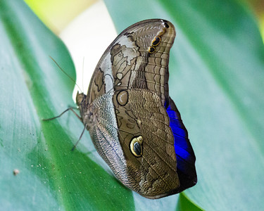 Another Blue Morpho Butterfly.  See the deep blue of its upper wing.